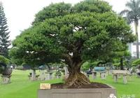 黃楊盆栽的養護與管理