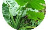 植物辨識高手:梨樹、山茶花、豬屎豆、大野芋、榕樹、小檗、蝟實、竹子、番木瓜,大都在福建拍攝