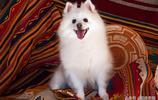 全世界最適合當寵物的10只狗,你認識多少,你最喜歡哪隻