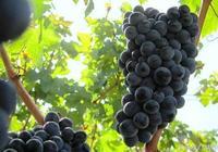 知名釀酒葡萄品種