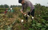 大衣哥朱之文微博晒摘棉花照片,卻因為裝棉花的袋子引發網友罵戰