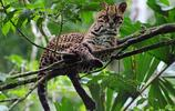 貓:虎貓,又名美洲豹貓,是產於南美、加勒比地區的野生貓科動物