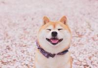 因為秋田和柴犬不夠可愛,日本本土秋田面臨滅絕?