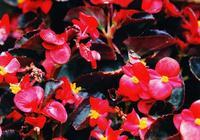 四季海棠,麗格海棠,秋海棠有什麼區別?