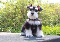 飼養雪納瑞犬的九大誤區!你佔幾個?