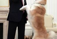 犬中貴族之秋田犬