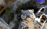 只要是貓,就愛蹲盒子!10張大型貓科動物們的有趣照片讓你笑不停