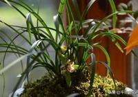 """蘭花、君子蘭不會養?盆裡加上這""""2種垃圾"""",越長越旺盛,實用"""