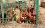 山西8旬農村老人買小雞連上兩次當,看她要用啥辦法解決