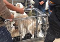 """狗市難得一見的聖伯納犬,商販稱""""最少2000元,低了不賣!"""""""
