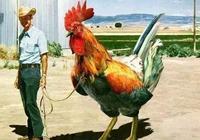 朋友們,2米高的公雞,如果你有一隻,你會怎麼辦?