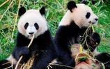 中國大熊貓出國要被租,租金高達百萬,死亡還有賠償金?