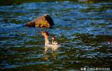 中國珍稀鳥類中華秋沙鴨現身吉林,超級可愛