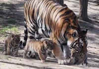 東北虎無天敵,人類又保護它,為何數量還那麼少?網友說與它有關