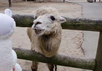 羊駝肉味道怎麼樣?