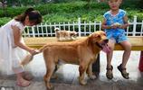 被稱為大眾情人的狗狗---金毛,家庭中理想的萌寵