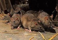 還有人記得明朝滅亡之際,那場空前絕後的大鼠疫嗎?