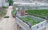 用電動三輪車澆水:奶奶無地卻種半畝西瓜,吃不完一個不賣