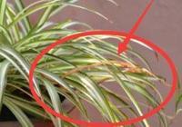 家裡的吊蘭葉尖發黃還爛根?老花匠教你個小絕招,整天都綠油油的