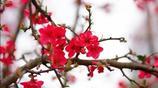 樹樹花開枝上紅