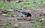 草地上覓食的紅嘴藍鵲