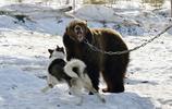 狗狗挑釁被鎖棕熊,棕熊看準時機出手,狗狗下場悲慘
