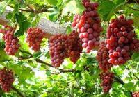 釀酒技術:葡萄酒製作過程