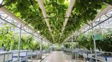 """山東農民種植的""""蔬菜樹"""",高科技、高產量,一棵年結果達6000斤"""