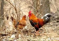 八十年代的雞肉真香,為什麼現在吃不出雞肉的香味?