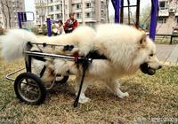 狗狗行動不便,主人為它自制了簡易輪車,這3款你給哪個點贊?