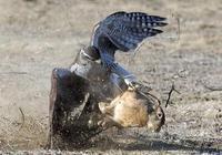 老鷹受傷落地草地上,小羚羊都跑過來欺負它,網友:虎落平陽了