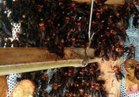 虎頭蜂蜂王與 雄蜂收集