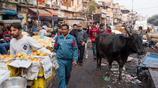 實拍印度首都香料市場:人不如牛,人們賣命幹活,牛在旁悠閒溜達