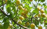 農村才有的5種野果,吃過的都是農村長大的人,孩子都會打醬油了