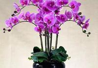 蝴蝶蘭在室內也能開花很久,適當處理來年能重複開花
