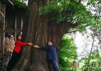 四川廣元旺蒼髮現一棵上千年古銀杏樹 年產果達1噸以上