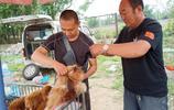 唐山寵物市場,西施犬100元抱回家,柯基1000元,免費送的狗稀罕