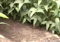 大豆科學澆水,是大豆增產的重要指標
