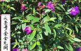 廣西欽州實拍花草系列(二):野牡丹