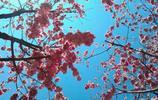 櫻花都一樣漂亮,只有昆明的天最藍,昆明的人兒最難忘