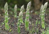 蘆筍營養價值頗高,孕婦可以吃蘆筍嗎?坐月子能吃蘆筍嗎?