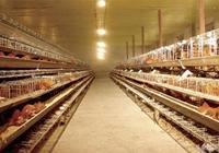 養雞人應該知道的8個養雞必備要素,缺一不可