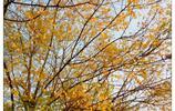 秋天,八公山這棵樹真美