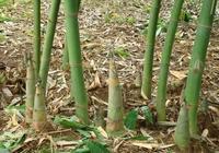 廣西是不是盛產竹筍?那邊都有哪些竹筍做的特色美食?