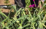 大爺一畝半蒜薹賣了1萬多,晚茬蒜薹沒人要,再種改變方法