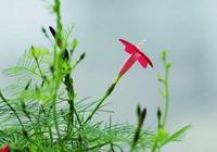 """羽葉蔦蘿:為全天下情人而盛開的""""愛之花"""""""