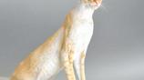 20大最貴的貓品種,人工培育出來的阿瑟拉貓高達10萬美元