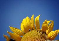 「七絕」向日葵