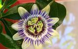 盛開的藍色西番蓮圖片(18張),值得收藏!
