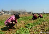 農村人靠種植中藥材發家致富,家家蓋起了小洋樓,不耽誤打工賺錢